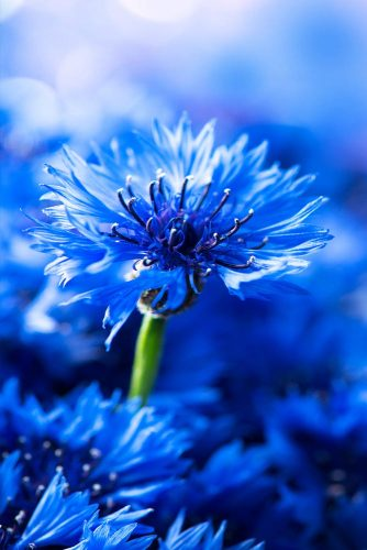 Bachelor Button Flower - Cornflower