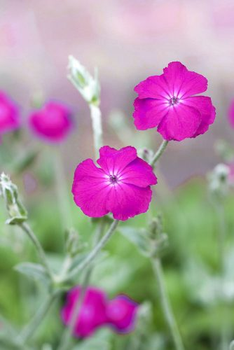 Lychnis or Rose Campion