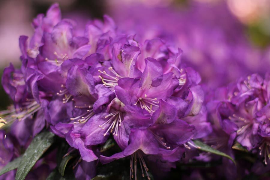 Best Purple Flowers For Your Garden