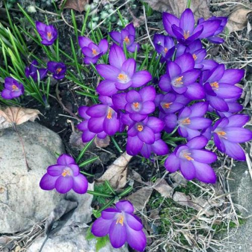 Ultra Violet Spring Flowers picture 2