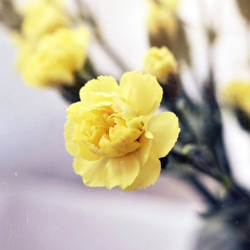 Yellow Carnation Flower #yellowcarnation