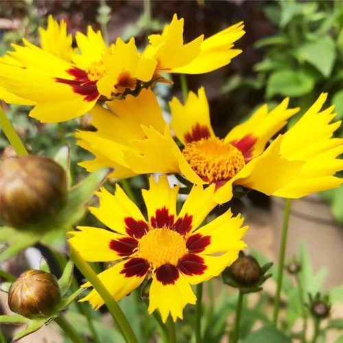 Yellow Coreopsis Flower #yellowcoreopsis