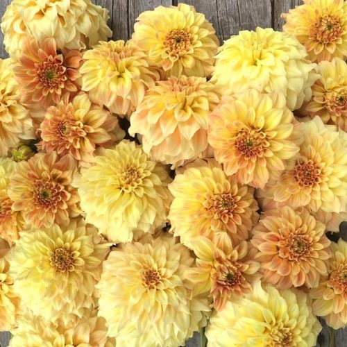 Beautiful Flowers Of Dahlia picture 2
