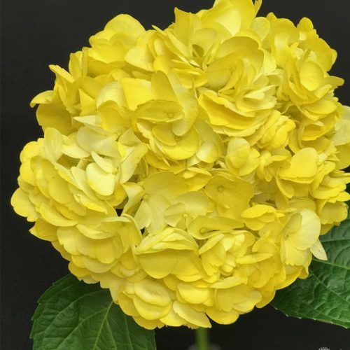 Yellow Hydrangea #hydrangea #potplant