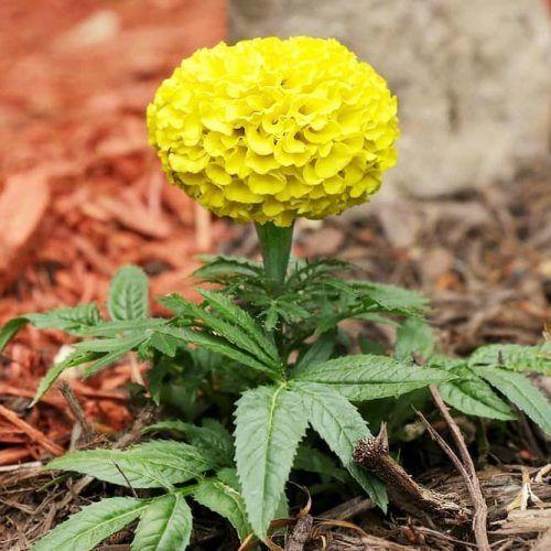 Marigold Yellow Flower #gardenplant #marigold