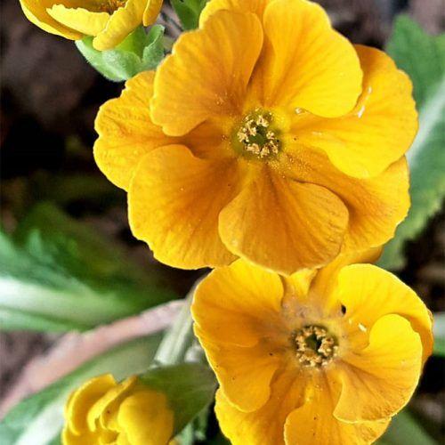 Yellow Primrose #primrose #gardenplant