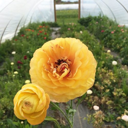 Lovely Ranunculus For Sweetest Bouquets picture 3