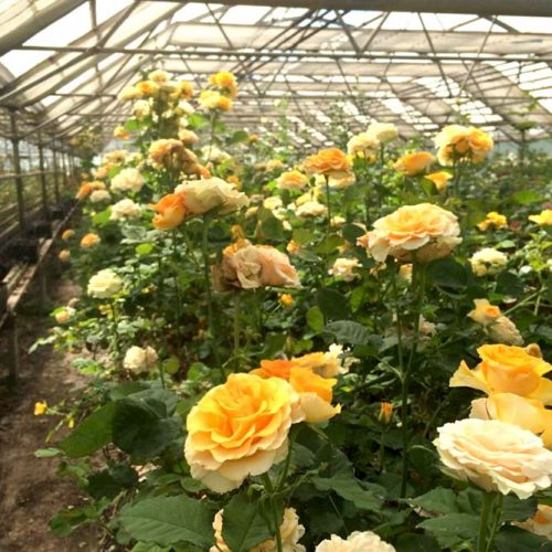 Gorgeous Rose Queen Of Flowers picture 3