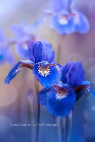 Colorful Irises To Feel Spring Coming