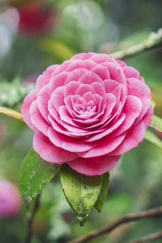 Perfect Beauty Of Camellia #camellia #pinkflowers #garden #nature