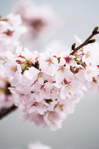 Stealing Beauty Of Cherry Blossom