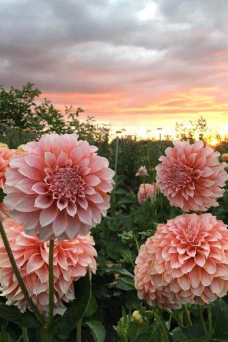 Stunning Dahlia Flowers