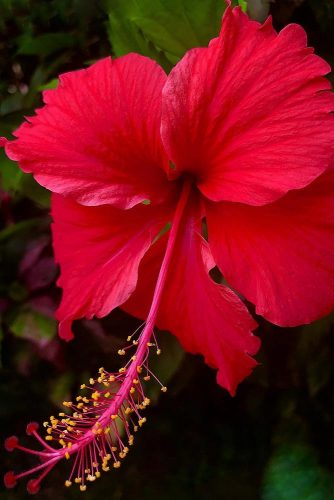 Red Passion Of Hibiscus