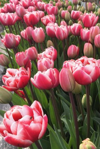 Gorgeous Pink And Red Tulips