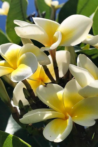 Sweetest Plumeria Bloom