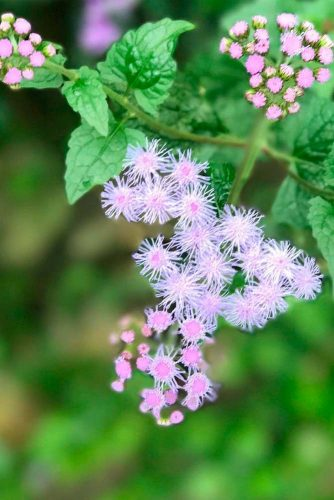 Fluffy Pink Ageratum #gardenflowers