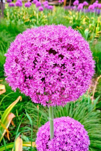 Allium #allium