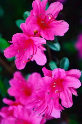 Pink Discovery Azalea #pinkazalea