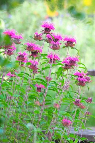 Raspberry Wine Bee Balm #beebalm
