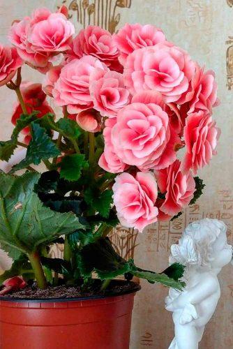Gorgeous Begonia #begonia #homeplants
