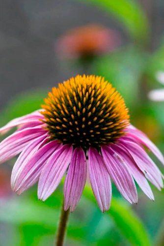 Coneflower #pinkconeflower
