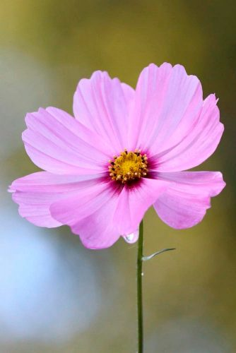 Cosmos Flower #pinkcosmosflower