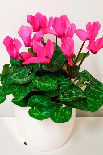 Cyclamen #pinkcyclamen