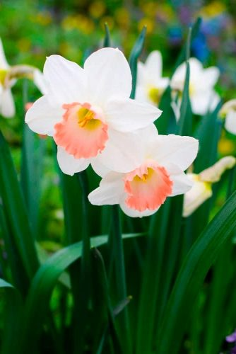 Unique Pink Daffodil #springflowers