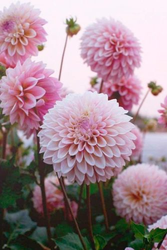 Pink Dahlia #dahliaflower
