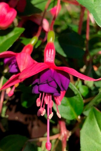 Dark Eyes Fuchsia #fuchsia