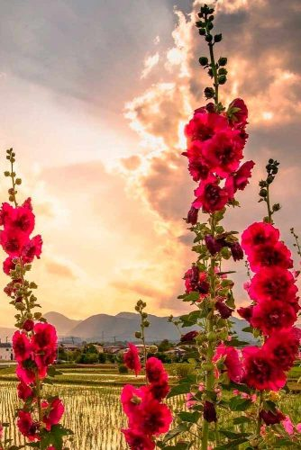Hollyhock #hollyhockflowers