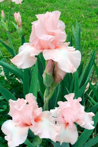 Pink Iris #irisflower
