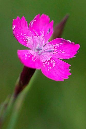 Maiden Pink #maidenpinkflower