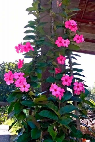 Alice du Pont Mandevilla #pinkmandevilla