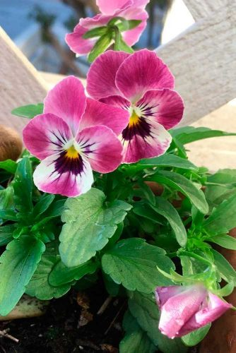 Pink Pansy #pansy