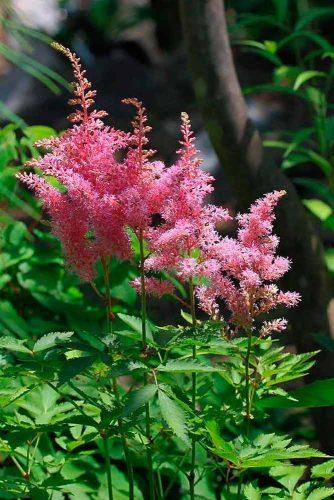Pumila Astilbe #pinkastilbeflower