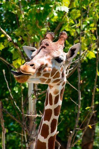 Have Fun In St. Louises Zoo #zoo #giraffe