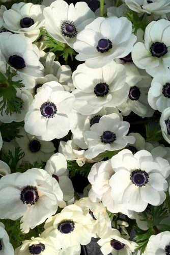 Fabulous White Anemone #anemones #beautifulflowers