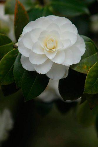 Exotic White Camellia #camellia