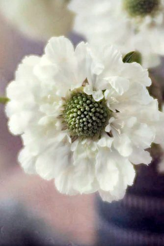 Cute Scabiosa Flowers #beautifulflowers #scabiosa