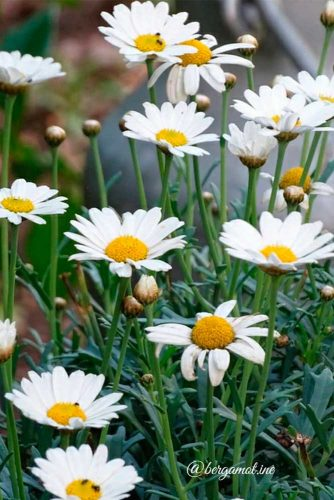 Gentle And Pure Daisy #daisy #pureflowers