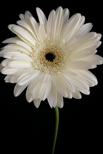 Strict And Royal White Gerbera Daisy #gerbera #gerberadaisy