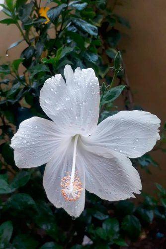 Irresistibly Sweet White Hibiscus #tropicflowers #hibiscus