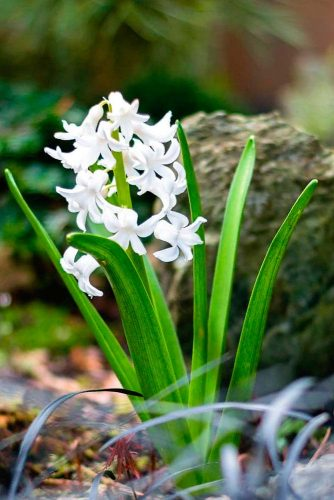 Spring Beauty White Hyacinth #springflowers