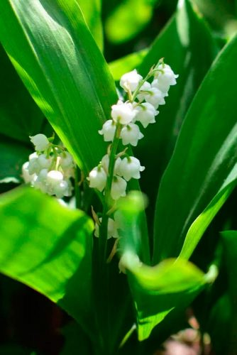 Tiny Lily Of The Valley #smallflowers