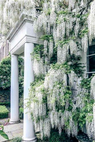 Streaming White Wisteria Sinensis #wisteria #gardentree