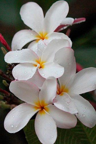 Plumeria – Sweetest Flower In The World #plumeria
