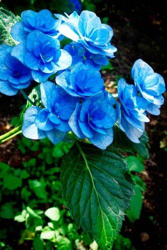 Unique Blue Hydrangea #blueflowers #hydragea