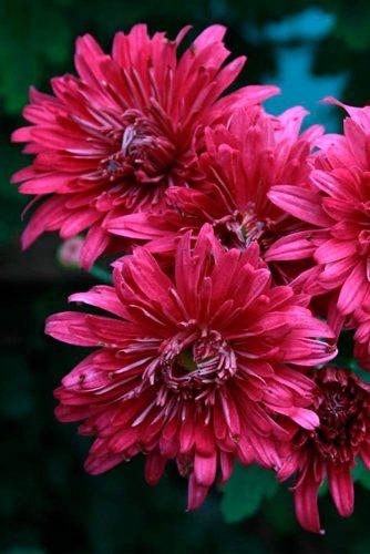 Totally Perfect Chrysanthemum #chrysanthemum #gardenflowers