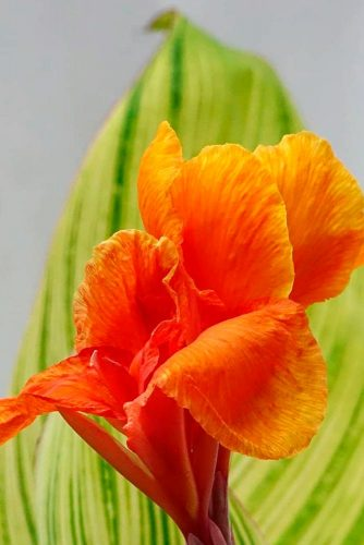 Gorgeous Canna Lily #gardenflowers